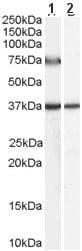 Western blot - ACOX2 antibody (ab59516)