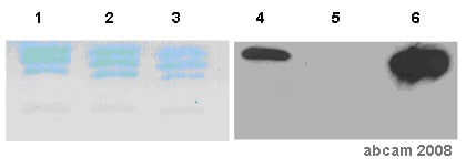Immunoprecipitation - Histone H3 (di methyl K4) antibody (ab59563)