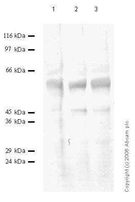 Western blot - TMPRSS13 antibody - Cytoplasmic domain (ab59862)
