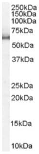 Western blot - SRP1 antibody (ab6035)