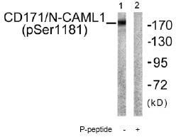 Western blot - L1CAM  (phospho S1181) antibody (ab61009)