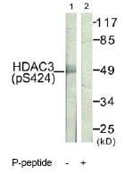 Western blot - HDAC3 (phospho S424) antibody (ab61056)