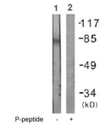 Western blot - IFNGR1 (phospho Y457) antibody (ab61062)