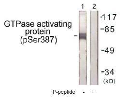 Western blot - RACGAP1 (phospho S387) antibody (ab61078)