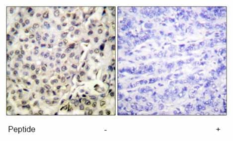 Immunohistochemistry (Formalin/PFA-fixed paraffin-embedded sections) - Apc6 antibody (ab61189)