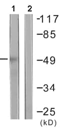 Western blot - HDAC3 antibody (ab61216)