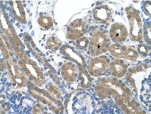 Immunohistochemistry (Formalin/PFA-fixed paraffin-embedded sections) - RNF165 antibody (ab61284)