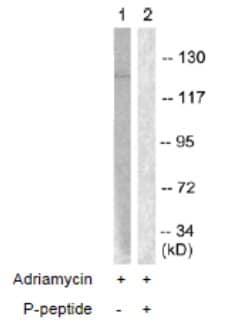 Western blot - c Abl (phospho Y204) antibody (ab61757)