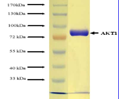 SDS-PAGE - AKT1 protein (Tagged) (ab62279)