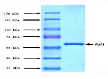 SDS-PAGE - Raf1 protein (Active) (ab62292)