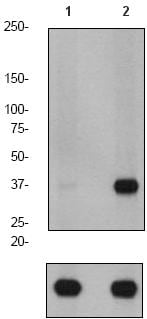 Western blot - PPP1A (phospho T320) antibody [EP1512Y] (ab62334)