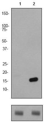 Western blot - Histone H2B (acetyl K15) antibody [EP955Y] (ab62335)