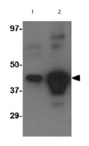 Western blot - Avian Influenza A Hemagglutinin antibody (ab62490)