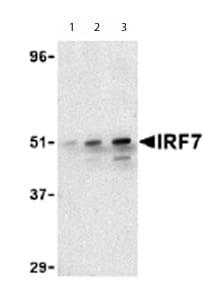 Western blot - IRF7 antibody - Carboxyterminal end (ab62505)