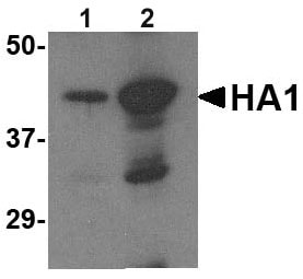 Western blot - Avian Influenza A Hemagglutinin antibody (ab62587)