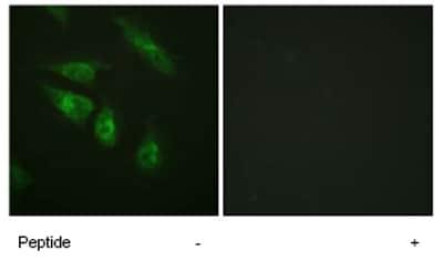 Immunocytochemistry/ Immunofluorescence - NFATC4 antibody (ab62613)