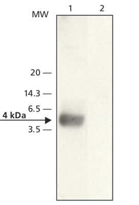 Western blot - beta Amyloid antibody (ab62658)