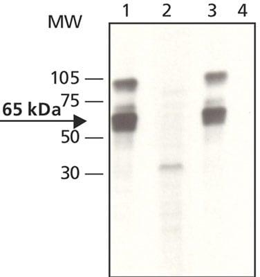 Western blot - YAP1 (phospho Y357) antibody (ab62751)
