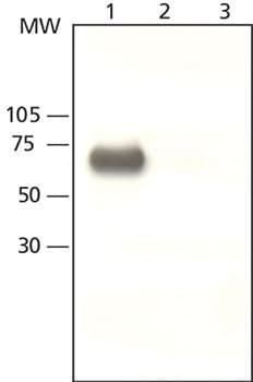 Western blot - YAP1 antibody (ab62752)