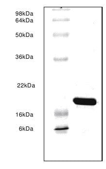 SDS-PAGE - BLBP protein (ab63109)