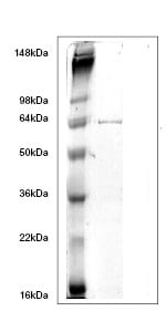 SDS-PAGE - GPD2 protein (His tag) (ab63130)