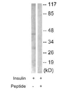 Western blot - CEBP Alpha antibody (ab63486)