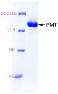 SDS-PAGE - Pasteurella multocida toxin protein (ab63832)