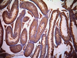 Immunohistochemistry (Formalin/PFA-fixed paraffin-embedded sections) - Lactate Dehydrogenase C antibody (ab63965)