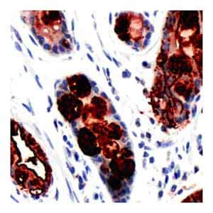Immunohistochemistry (Formalin/PFA-fixed paraffin-embedded sections) - Blood Group Lewis a antibody [SPM522], prediluted (ab64099)