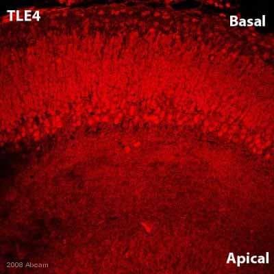 Immunohistochemistry (Frozen sections) - TLE4 antibody (ab64833)