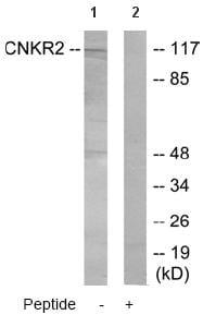 Western blot - CNKR2 antibody (ab64844)