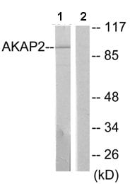 Western blot - AKAP2 antibody (ab64904)