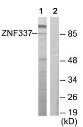 Western blot - ZNF337 antibody (ab64907)