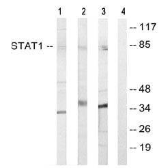 Western blot - STAT1 antibody (ab64913)
