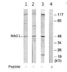Western blot - MAG1 antibody (ab64979)