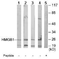 Western blot - HMGB1 antibody (ab65003)