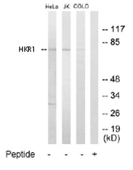 Western blot - HKR1 antibody (ab65010)