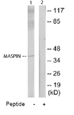 Western blot - MASPIN antibody (ab65136)