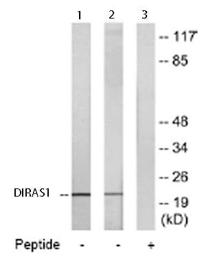 Western blot - DIRAS1 antibody - Carboxyterminal end (ab65139)