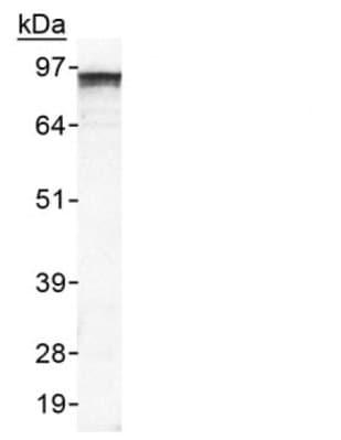 Western blot - EPB41L3 antibody (ab65368)