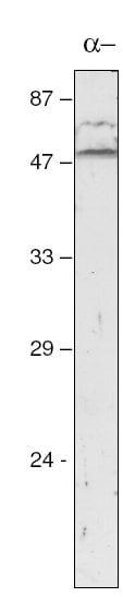 Western blot - atpA antibody (ab65369)