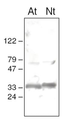 Western blot - psbO antibody (ab65563)