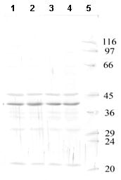 Western blot - HtrA3 antibody - Catalytic domain (ab65911)