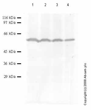 Western blot - htrA4 antibody - Catalytic domain (ab65915)