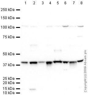 Western blot - Anti-WDR77 antibody (ab66299)