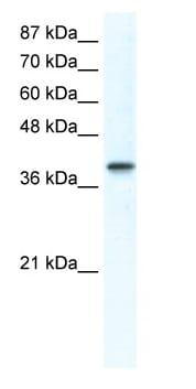 Western blot - TFAP4 antibody (ab66626)