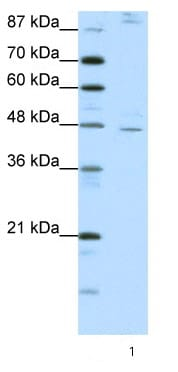 Western blot - NR2F2 antibody (ab66662)