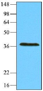 Western blot - REXO1 antibody [4H5] (ab66747)