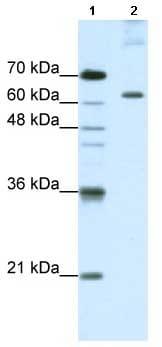 Western blot - KIAA0020 antibody (ab66779)