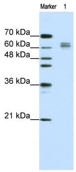 Western blot - eIF4B antibody (ab66780)